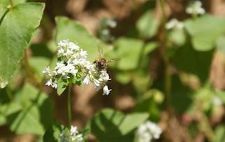 buckwheat-bee