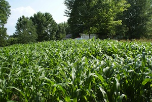 corn-wealth