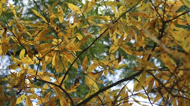 dormant-willow-oak-leaves