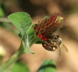 honeybee on red clover