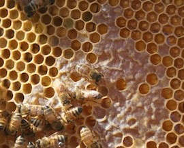 Italian bees are a great species for the new beekeeper.