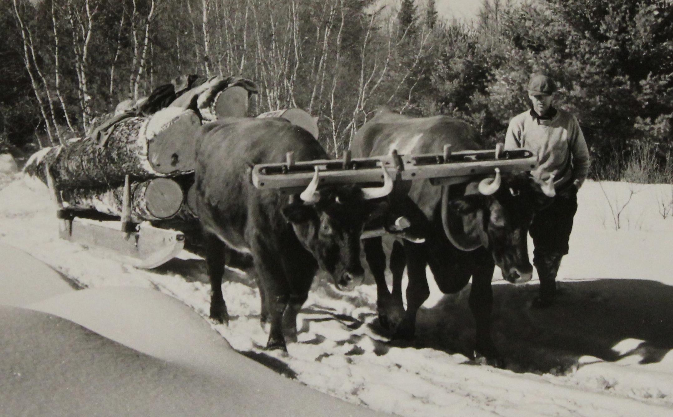 Oxen-hauling-salvage-logs_Bridgton-Maine
