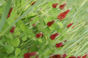 Crimson clover grows amidst winter rye.