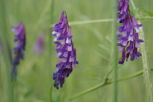 Bees love hairy vetch's purple blossoms.
