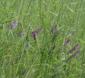 Hairy vetch likes to climb and winter rye makes the perfect support structure for its growth.  The combination of the two offers your garden the soil converting ability of a cereal grain with the superior nitrogen fixing skills of a legume.