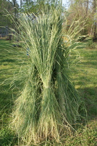 Harvest and dry winter rye in the late Spring for use as a weed suppressor in your Summer garden.