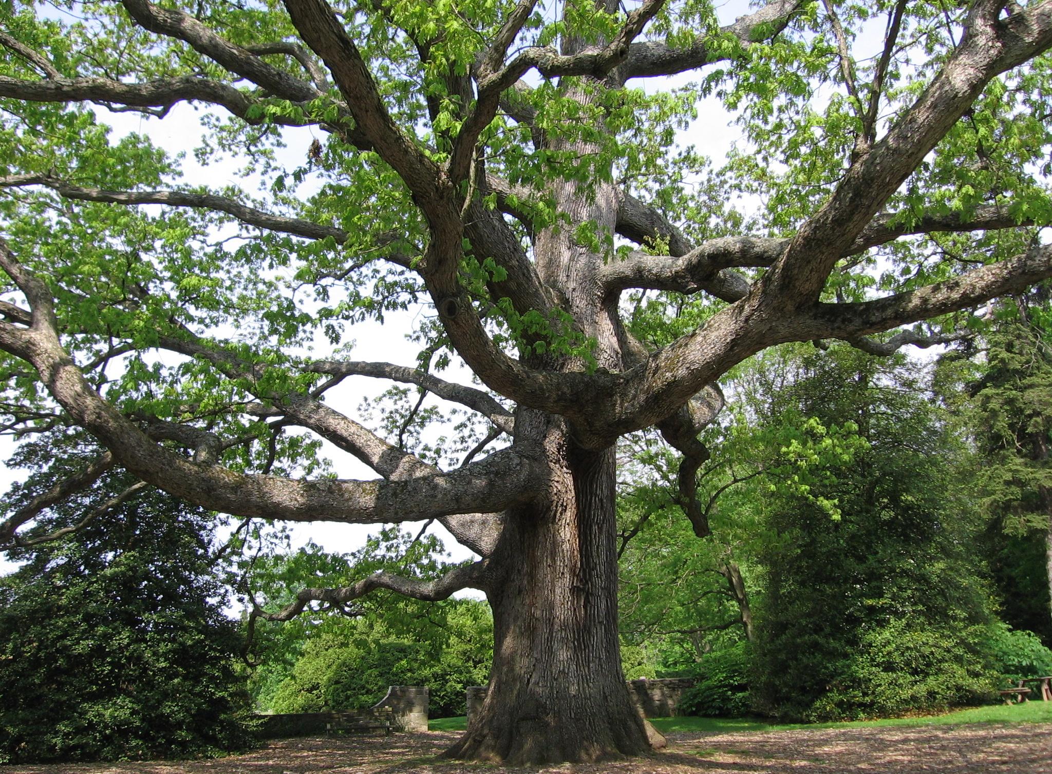 White oak a north carolina native tree grateful trees