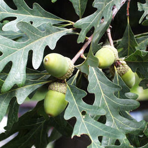white-oak-leaves-acorn