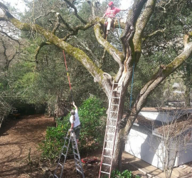 tree-pruning-oak