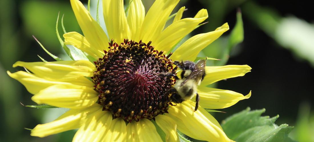 Bumblebee Sunflower > Rider