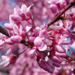 Eastern Redbud GTB Pay What You Want