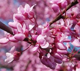 Eastern redbud blossom